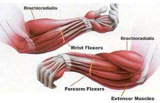 Forearm muscles extensors flexors